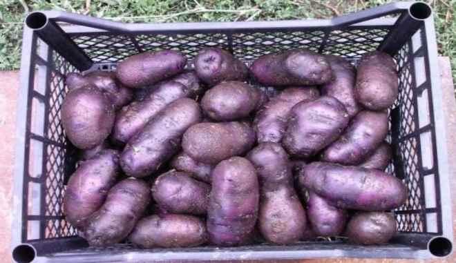 Сорт картофеля Чугунка
