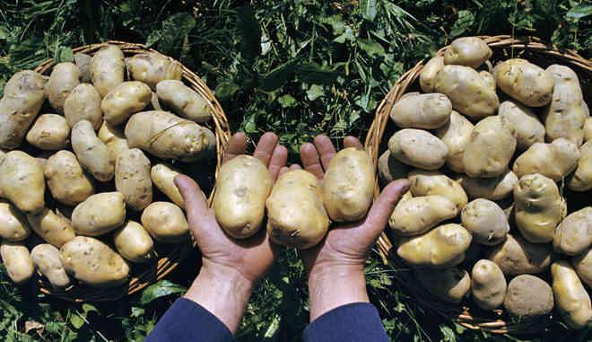 Сбор картофеля Темп