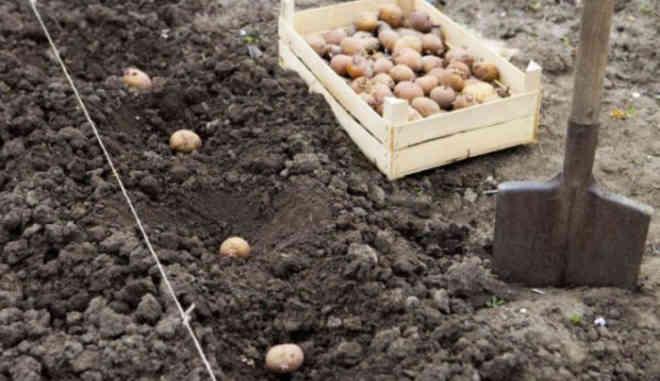Высаживание картофеля