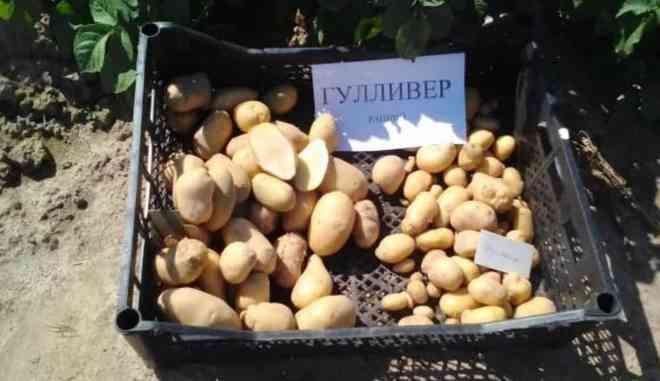 Урожай картофеля Гулливер